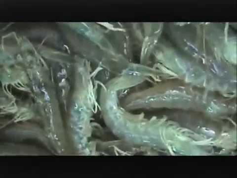 Cultivo hiperintensivo de camaron blanco cosecha youtube for Criar tilapias en estanques