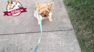 K9dojo Toronto Teacup Yorkie Dog Training Tips