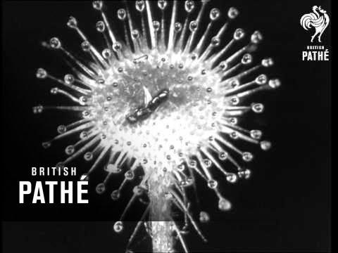 Secrets Of Nature - Sundew (1930)