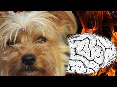Вопрос: Как распознать симптомы припадка у собаки?