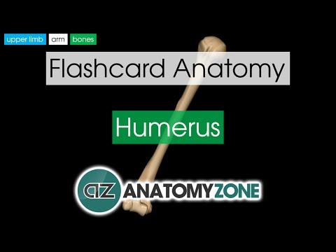 Humerus | Flashcard Anatomy