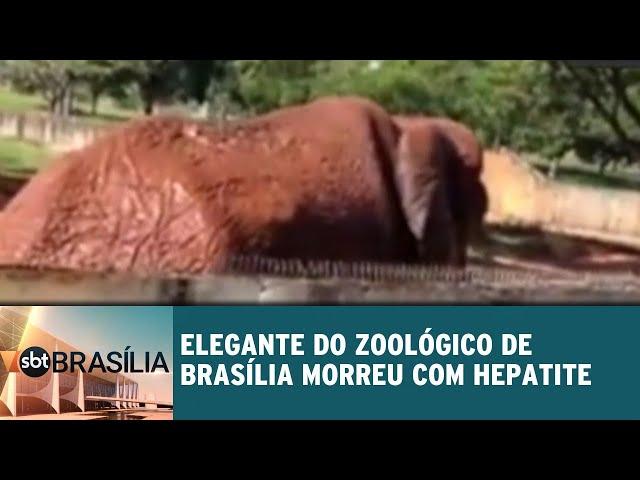 Elefante do Zoológico de Brasília morreu com hepatite | SBT Brasília 12/03/2019