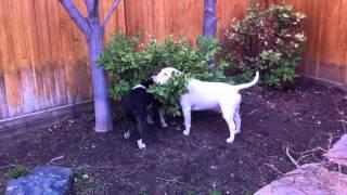 (Schatzi and Zita) bull terriers trancing or ghost walking thumbnail
