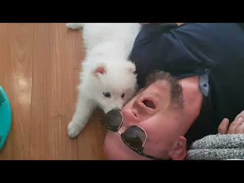 Our first month with our Japanese Spitz puppy, Kumo.