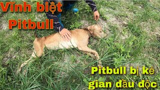 Vĩnh Biệt Pitbull | Tŗuy Tİm Kẻ Đầu Độc Chó PitḂull | SBATVC