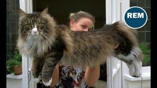 Mininos Gigantes No Te Creerás El Tamaño De Estos Gatos