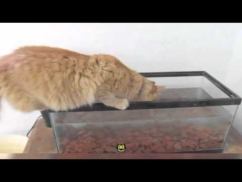 Orange Cat Falls In Fish Tank || HiCat Fail