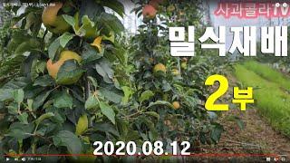 사과밀식재배 소개[2부] / 3.5M×1.0M