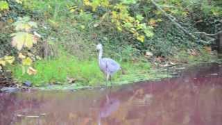 Waters Turning Red in Nootdorp - Blue Heron - The Netherlands