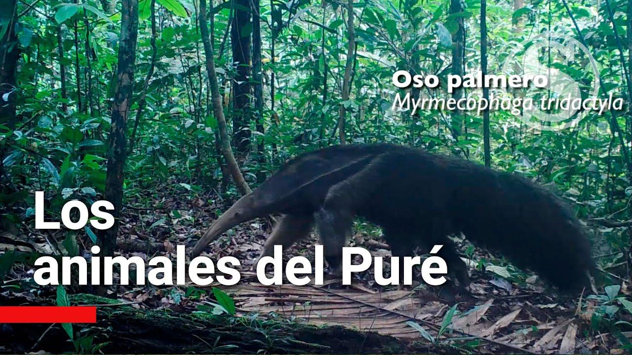 Hierbas para bajar de peso peruanas calatitas