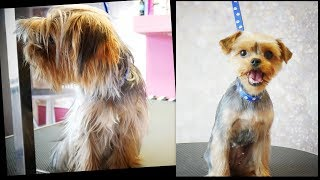 PetGroooming - Yorkie Transformation #93