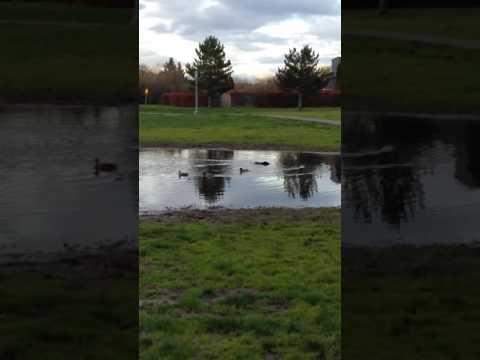 Schipperke dog meets a duck
