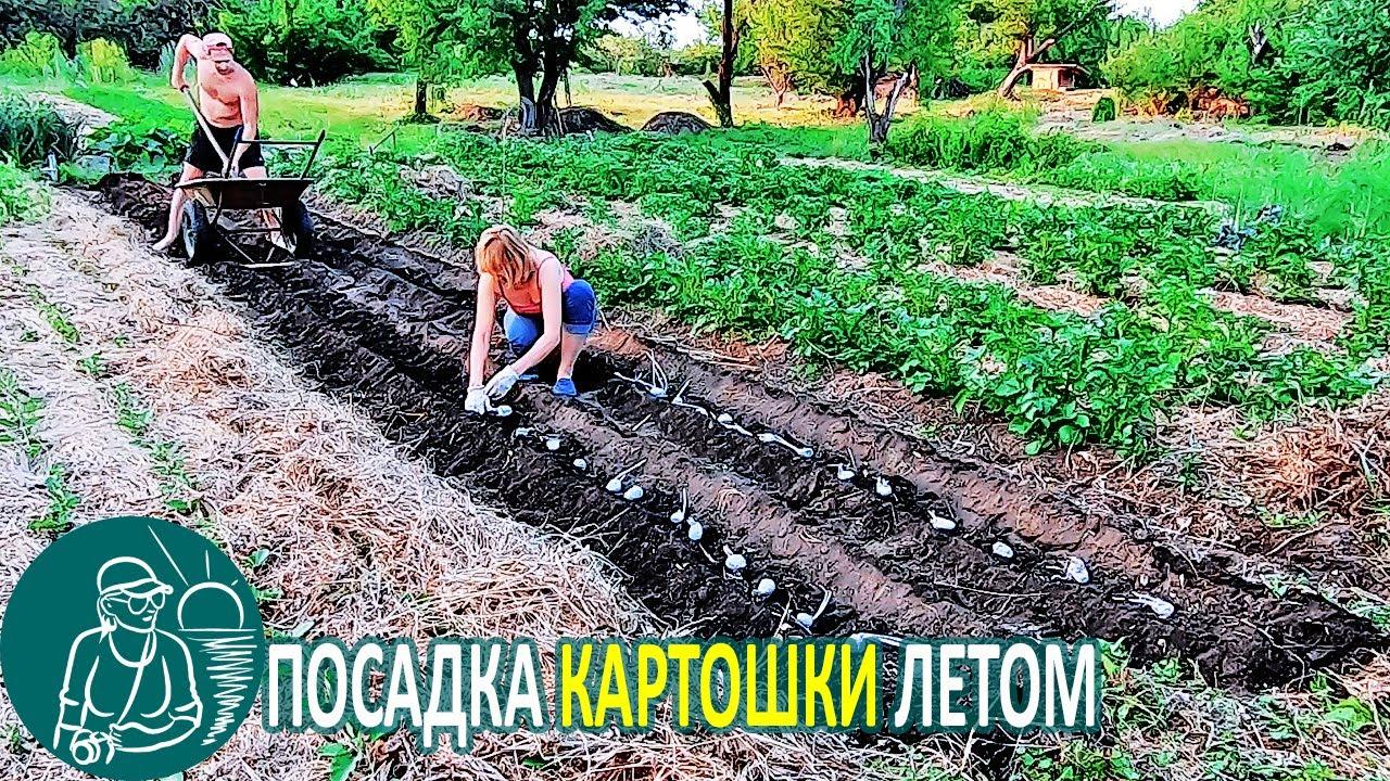 Посадка картофеля летом суперэлитой с длинными ростками 🌿 Эксперимент Гордеевых