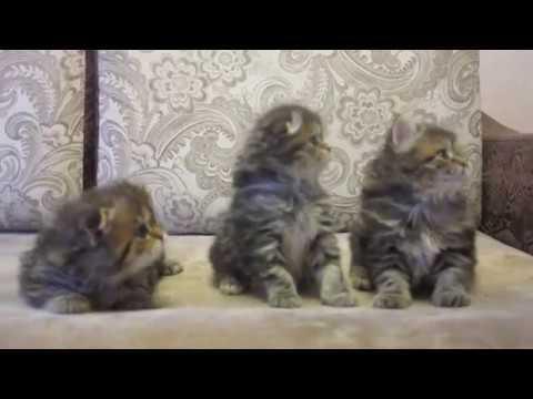 шотландский кот фото страйт