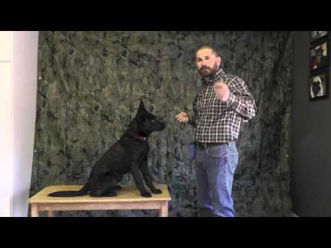 Malinois Puppy Training Twelve part 1