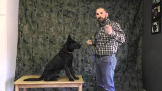 Malinois Puppy Training Twelve Part 1
