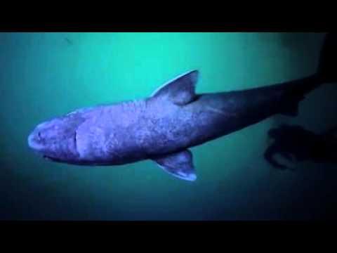 Des images exceptionnelles du requin du Groenland