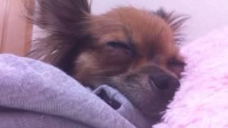 ロシアントイテリア- russian toy terrier