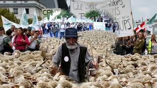 Sivas'ın kangal köpeği Fransız çiftçiyi kurtardı...