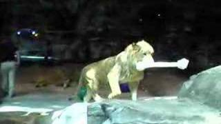 MGM Grand Hotel & Casino Las Vegas Lion Habitat