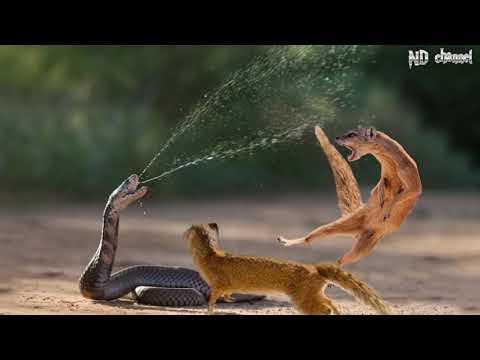 King Cobra Vs Mongoose - Cobra is Punished When Deliberately Spraying Venom Into Mongooses