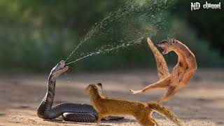King Cobra Vs Mongoose  Cobra is Punished When Deliberately Spraying Venom Into Mongooses
