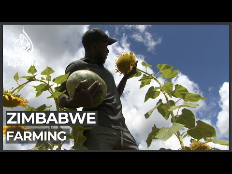Young Zimbabweans turn to farming to survive