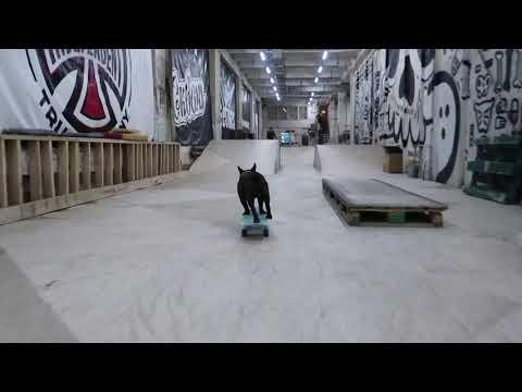 Skateboarding French Bulldog Nord Boss / Бульдог на скейте Норд Босс