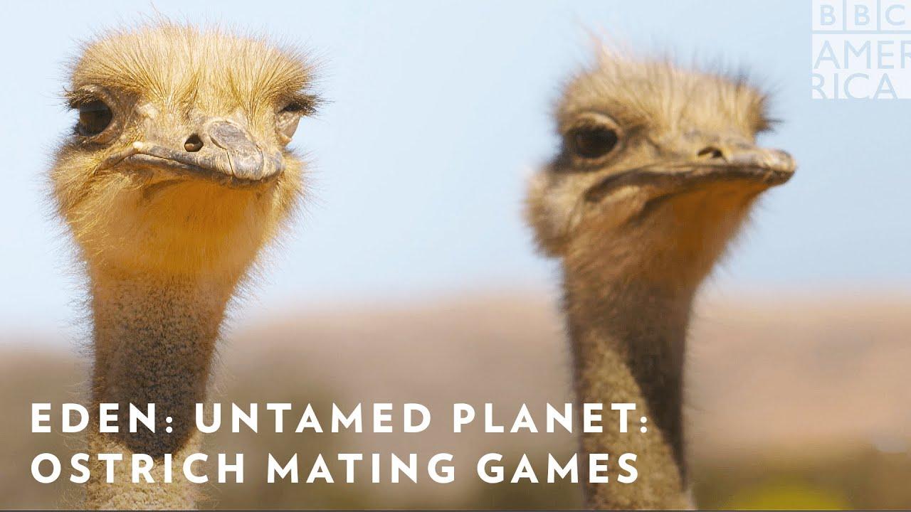 Ostrich Mating Games: 'Eden: Untamed Planet' Sneak Peek | BBC America & AMC