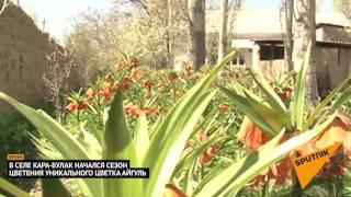 Уникальный цветок Айгуль — как цветет Рябчик Эдуарда