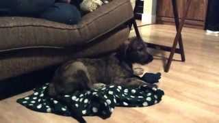Our Road Trip to Tully: Picking up our Irish Wolfhound Puppy