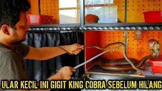 LAWAN KING COBRA KURUS | ULAR INI MALAH HILANG DALAM 30 MENIT 🙈