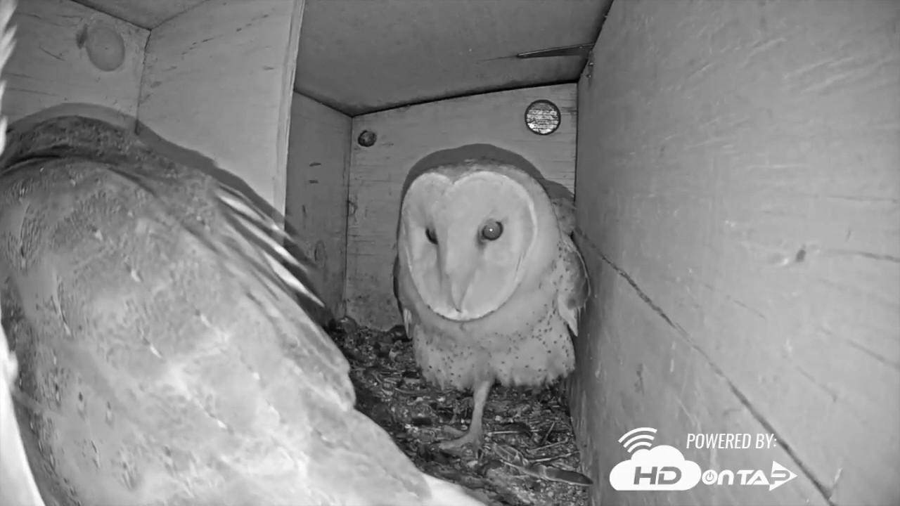 2018 Ramona Barn Owls Night Behavior Youtube