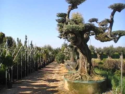 Viveros angol c b empresa de viveros para jardiner a for Viveros ornamentales
