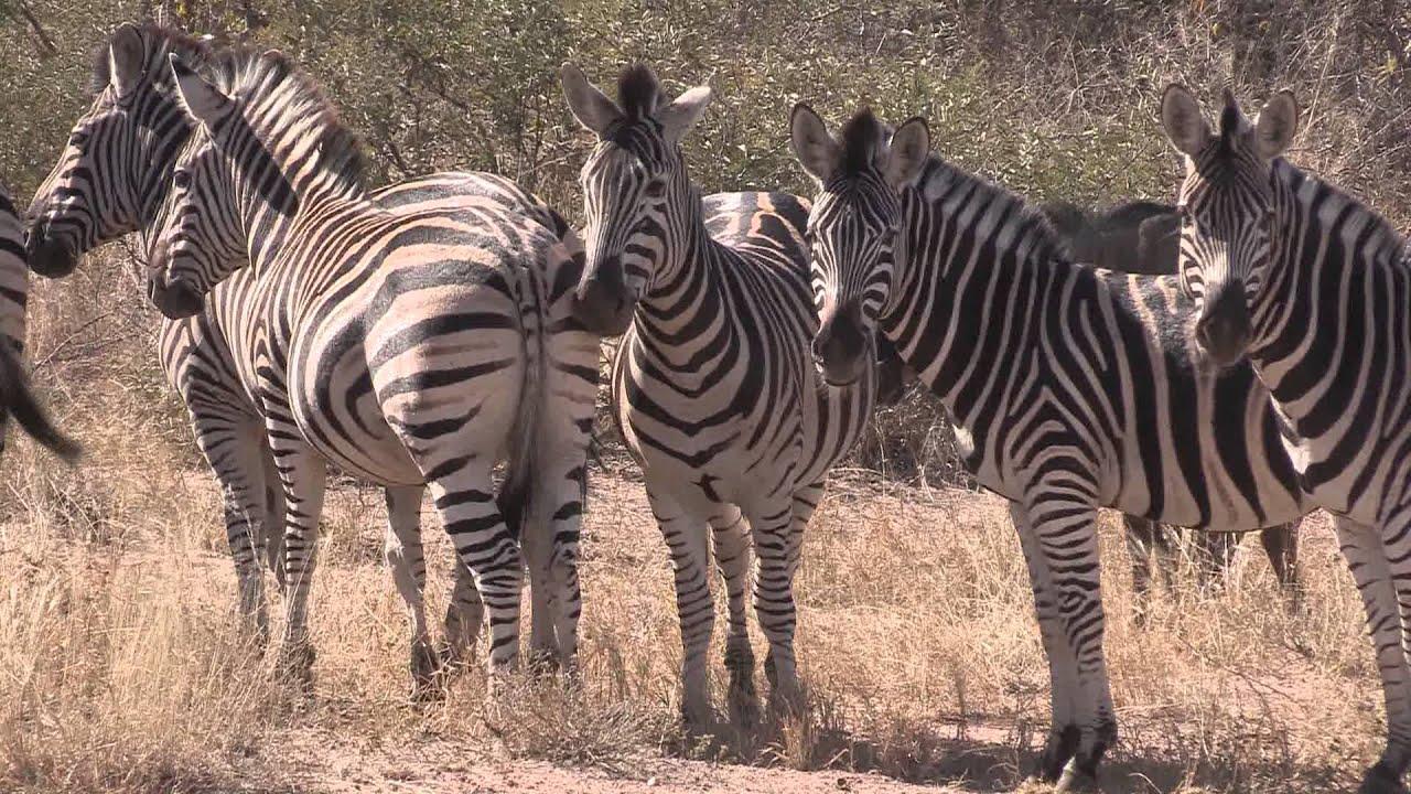 Sound of the African Bushveld, Zebras - AFRICAN WILDLIFE