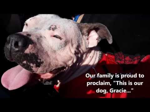 Pit Bull Rescue & Foster Fail - Angels Among Us Pet Rescue 2