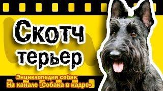 Скотч терьер (Средние терьеры). Энциклопедия пород собак.