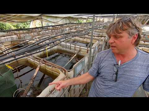 Amazing Guppy Fish Farm [Tour]