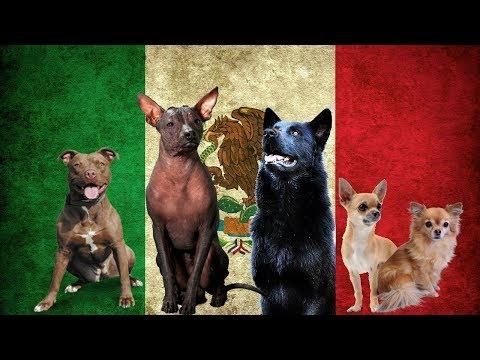 Los Perros De Origen Mexicano