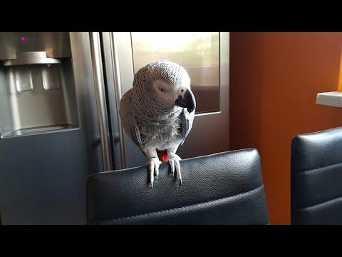 Попугай матершинник Рико болтает