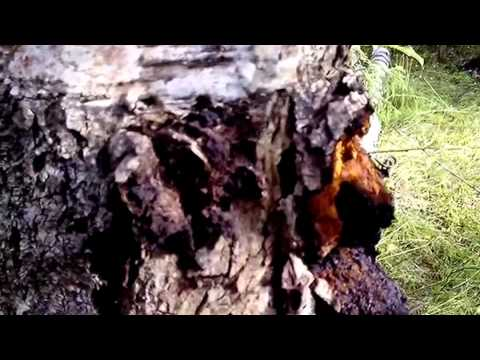Чага - берёзовый гриб
