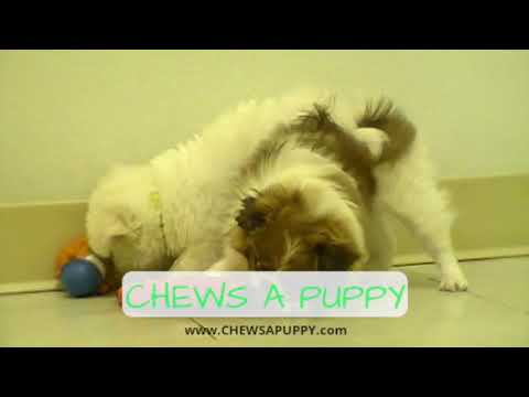 Maltese & Japanese Chin Puppies For Sale | Chews A Puppy