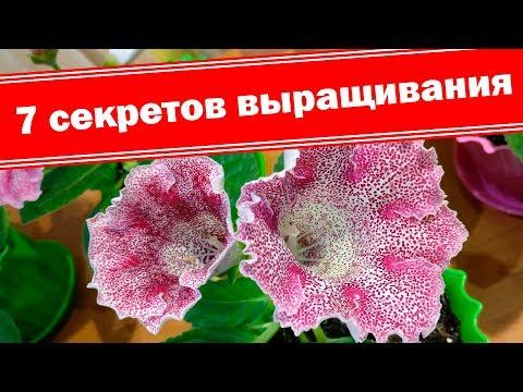 Глоксинии из семян. Секреты выращивания