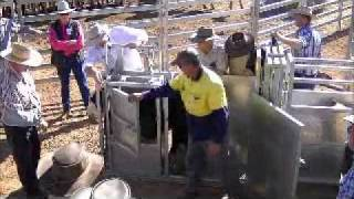 Cavalier Livestock Equipment Calf Crush Video .wmv