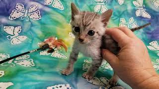 Wildtrax Egyptian Mau silver boy