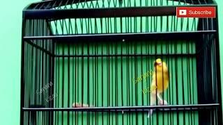 Kenari Bon Kuning Gacor