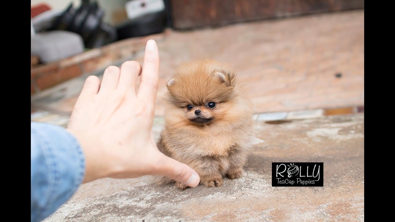 Pomeranian Teddy Bear Dog For Sale