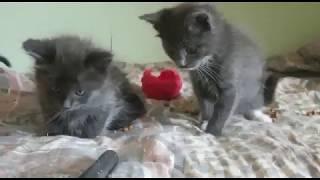 Трое котят голубого окраса