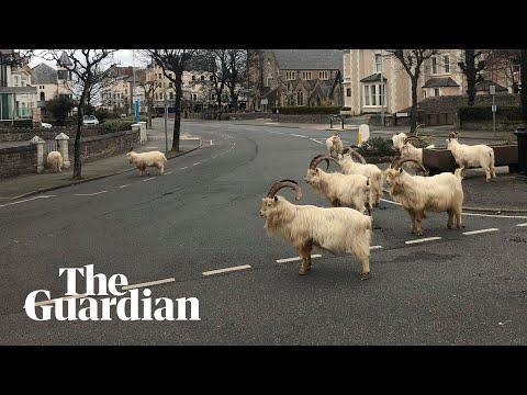 Goats Take Over Empty Welsh Streets As Residents Observe Coronavirus Lockdown