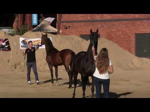 Konie arabskie - Manufaktura Lodz Poland 2013